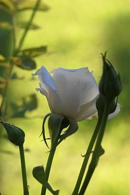 Photograph - Morning Rose by John Glass