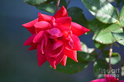 Photograph - Morning Rose by Maria Urso