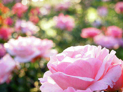 Photograph - Morning Rose by Rod Stewart