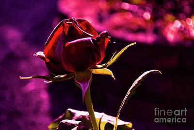 Photograph - Morning Rose by Zaira Dzhaubaeva