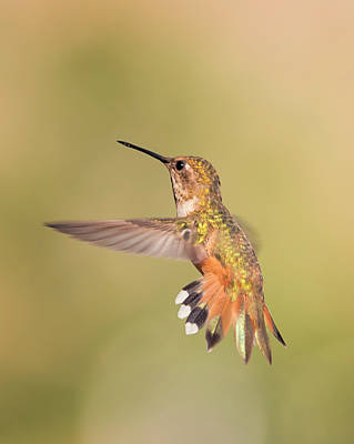 Photograph - Morning Rufous by Loree Johnson