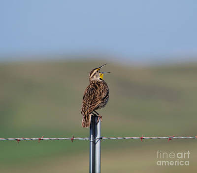 Meadowlark Wall Art - Photograph - Morning Song Of A Meadowlark by Jeff Swan