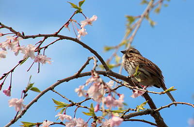 Photograph - Morning Song Sparrow by Rosanne Jordan