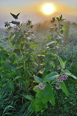 Photograph - Morning Sun On Milkweeds In Glacial Park by Ray Mathis
