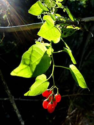 Solanum Dulcamara Photograph - Morning Sun On Nightshade by Trinket's  Legacy