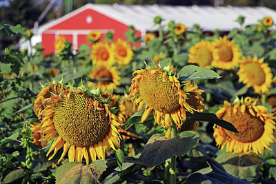 Photograph - Morning Sunflower Farm  by Christopher McKenzie
