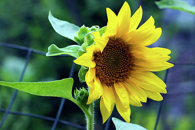 Photograph - Morning Sunflower by Jeff Severson