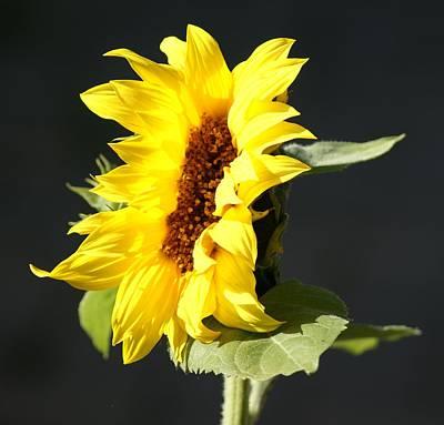 Ethereal - Morning Sunflower by Liz Vernand