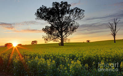 Purely Purple - Morning sunrise over Canola by Leah-Anne Thompson