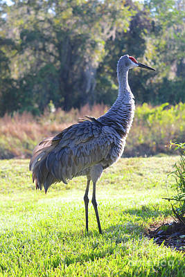 Photograph - Morning Sunshine Sandhill Crane by Carol Groenen