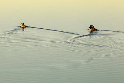Photograph - Morning Swim 5506 by Brent L Ander