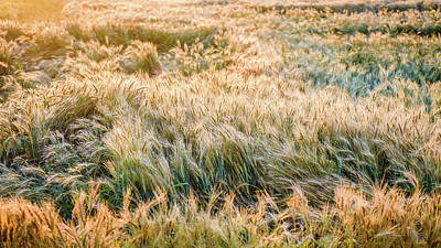 Photograph - Morning Wheat by Joe Shrader