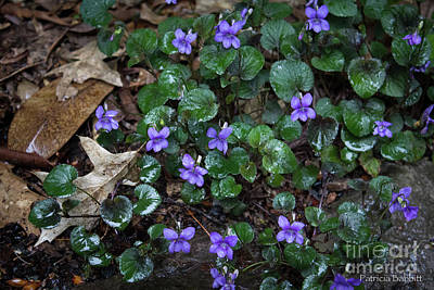 Photograph - Morning Wild Violets by Patricia Babbitt