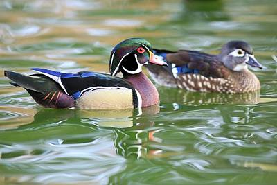 Photograph - Morning With Wood Ducks by Lynn Hopwood