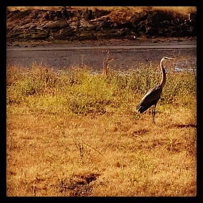 Ornithology Photograph - #morningrun #blueheron #berkeley by Alicia Boal