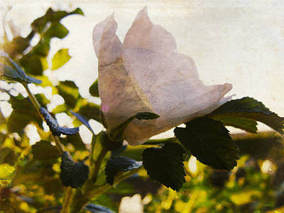 Photograph - Morning's Rose by Ilona Erwin