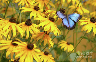 Photograph - Morpho Butterfly by Rick Bures