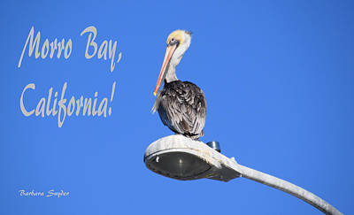 Brown Pelican Painting - Morro Bay California Pelican Large by Barbara Snyder