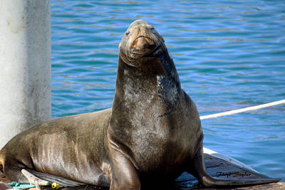 Pilings Painting - Morro Bay Harbor Seal by Floyd Snyder