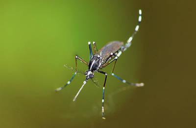Photograph - Mosquito 2 by Larah McElroy