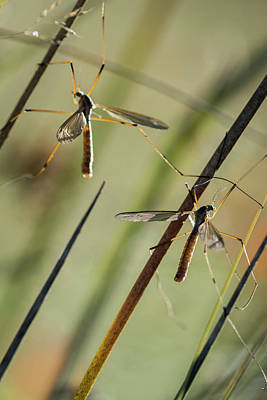 Photograph - Mosquito Hawks by Robert Potts
