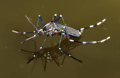 Photograph - Mosquito by Larah McElroy