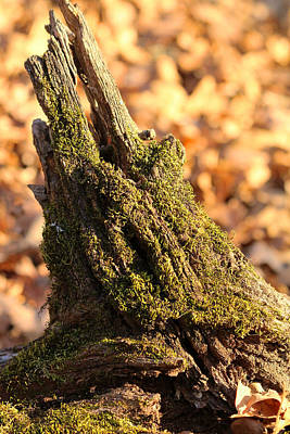 Photograph - Moss Covered Tree Stump  by Sheila Brown