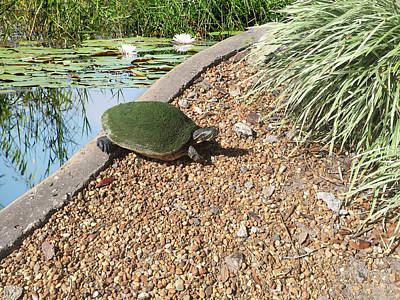 Photograph - Moss Covered Turtle by Aimee L Maher ALM GALLERY