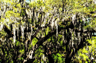 Photograph - Moss Dancing In The Trees by Frances Ann Hattier