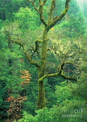 Photograph - Moss Draped Oak Quercus Spp Central California by Dave Welling