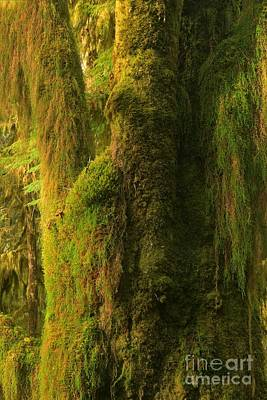Photograph - Moss In The Hoh by Adam Jewell