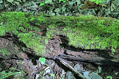 Photograph - Moss On A Log 2 by Richard Goldman