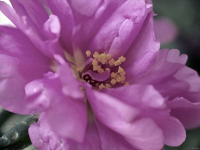 Photograph - Moss Rose II by Lauren Radke