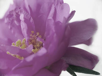 Photograph - Moss Rose IIi by Lauren Radke