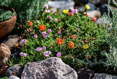 Photograph - Moss Rose In The Rocks #1 by John Brink