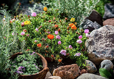 Photograph - Moss Rose In The Rocks #2 by John Brink