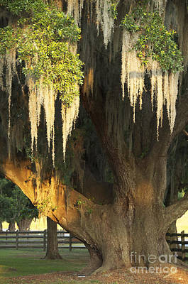 Moss Tree Art Print by Jeanne  Woods