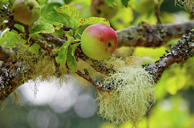 Photograph - Mossy Apple Tree by Adria Trail