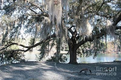 Mossy Oak And Geese By Lake Ella Art Print by Carol Groenen