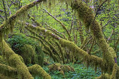 Photograph - Mossy Vine Maple by Robert Potts