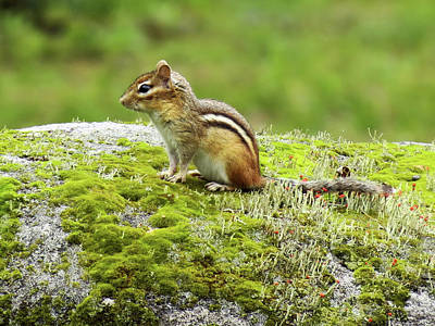 Photograph - Mossy World - Chipmunk by MTBobbins Photography