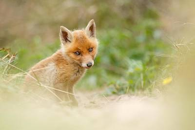 Adorable Photograph - Most Beautiful Red Fox Kit In The World by Roeselien Raimond