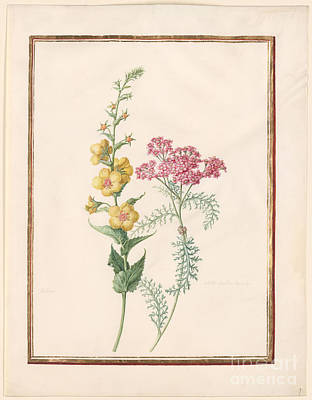 Botanical Painting - Moth Mullein Verbascum Blattaria  Milfoil Yarrow by MotionAge Designs