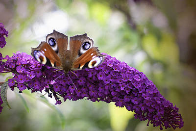 Butterfly On Blue Flower Photograph - Moth On Purple Flower by Phyllis Taylor