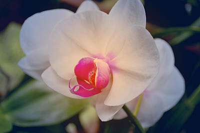 Photograph - Moth Orchid 1 by Kate Word