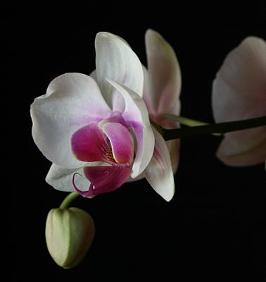 Art Print featuring the photograph Moth Orchid 1 by Marna Edwards Flavell