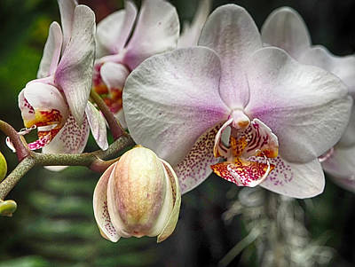 Photograph - Moth Orchid by C H Apperson