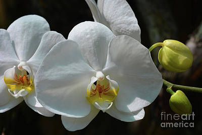 Wall Art - Photograph - Moth Orchid by Josie Elias