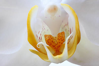 Photograph - Moth Orchid by Juergen Roth