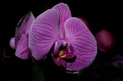 Digital Art - Moth Orchids  by Carol Ailles